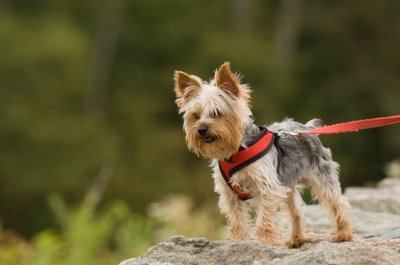 Yorkshire Terrier full body looking outdoors